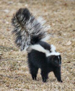 skunk smell in yard